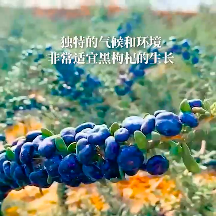 High quality pure organic certification Chinese pure dry fruit black wolfberry tea