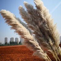 Yunnan factory wholesale large natural dried flower long stem dry Pampas Grass For home decor
