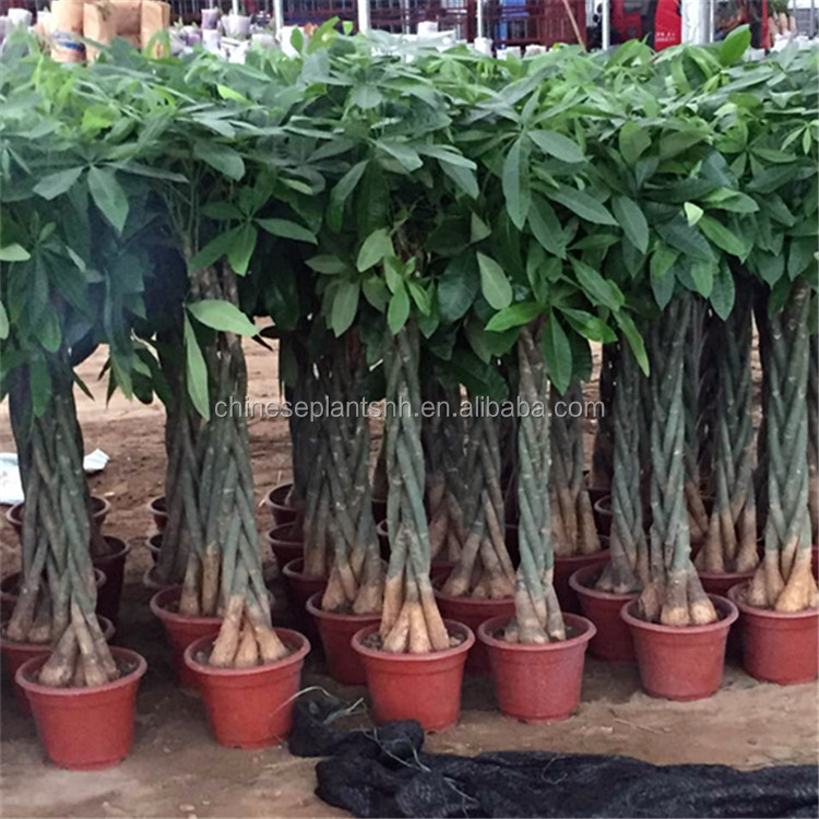 Money Tree Pachira microcarpa