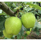 100 fresh pears for sale pear citrus fruit apple pear
