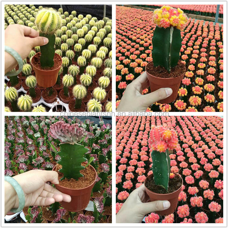 Indoor Mini Colourful Innestate Cactus