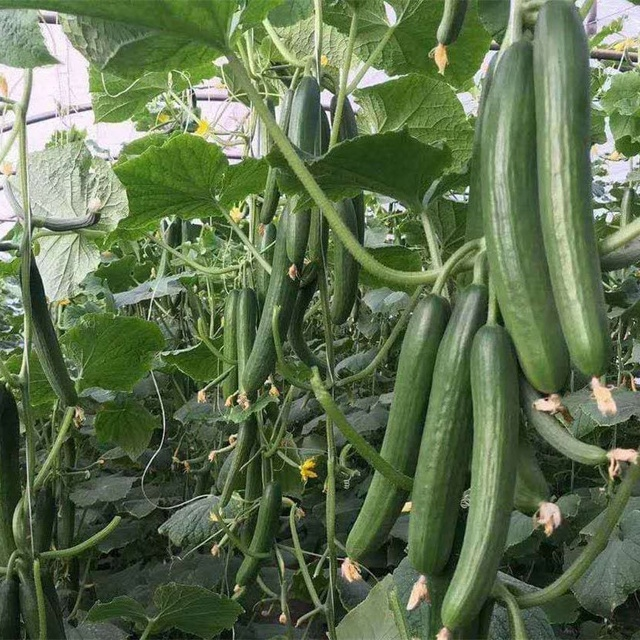 Quality High Yield Hybrid F1 Cucumber Seeds from China 18 to 22cm Heat Resistance