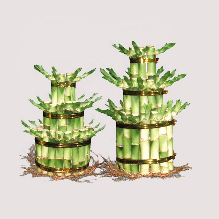 Fresh Green Leaf Lucky Bamboo 2 Layer For Sale Factory direct sale price