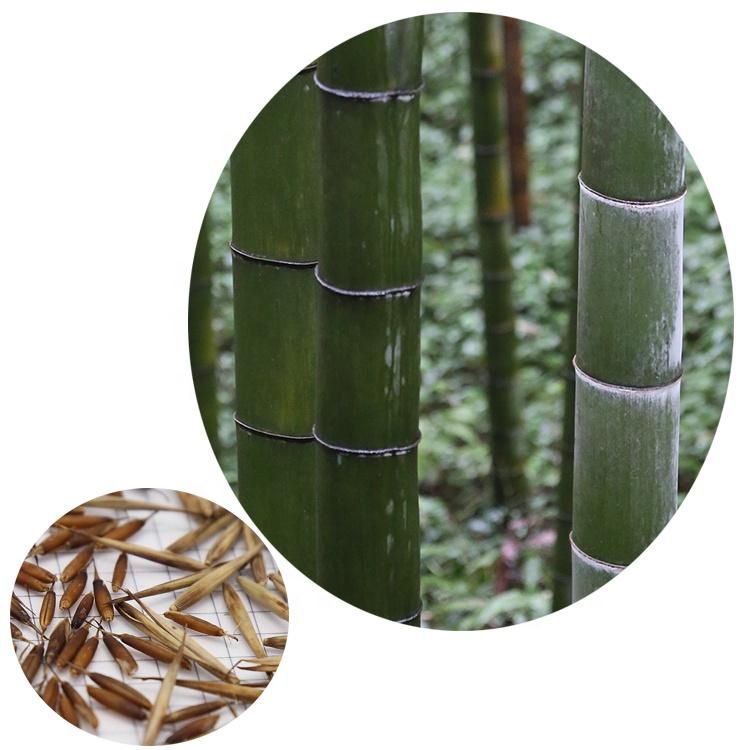 moso bamboo eeds,1 Bag, Grey