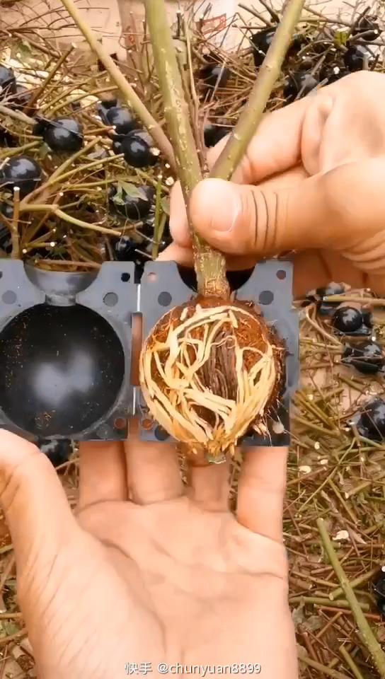 Многоразовая черная круглая трансплантация растений, шарик для укоренения, Прививка высокого давления, коробка для выращивания корней дерева для сада