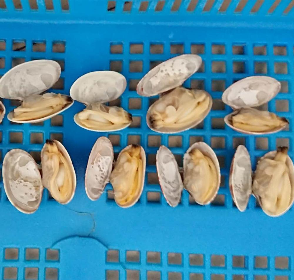 new season delicious baby clam with shell