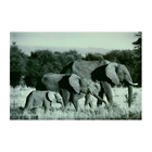 High-resolution wildlife photograph images elephants Print