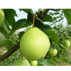 china pear fresh crystal pear fruit