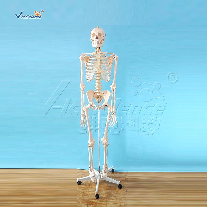 Human medical science 180cm tall life size skeleton anatomy model