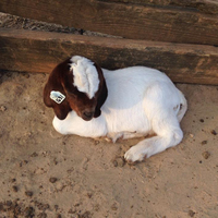 100 % HEALTHY GOATS AND SHEEPS AVAILABLE FOR SALE