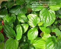 SELLING BETEL LEAF FROM VIET NAM