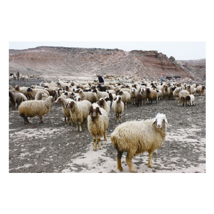 Low Market Price Aliva Heavy Weight Sheep