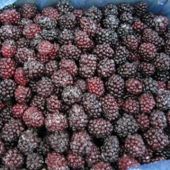 IQF fruit verse bevroren blackberry in bulk
