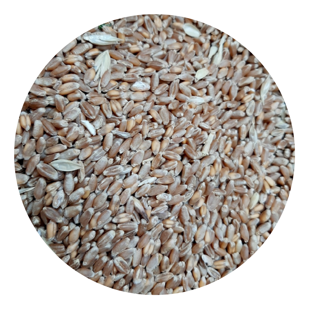 Russian Wheat Grain