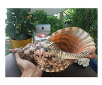 Bulk nice snail shell origin in Vietnam/polished abalone shell/antique sea shell +84339018083 WS