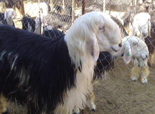 Najdi sheep,cow,camel,sheeps,goat,ox,bull
