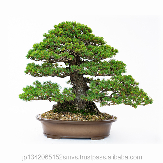 Giapponese Reale Professionale Bonsai in Vaso