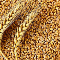 100% Pure Top Quality Whole Milling Wheat from India
