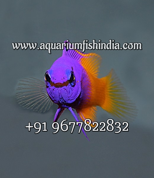 Marine Aquarium Fish - Imported Marine Fish - Live Marine Stock - Marine  Fish Online Sale - Buy Red Sea Marine Fish Product on Alibaba com