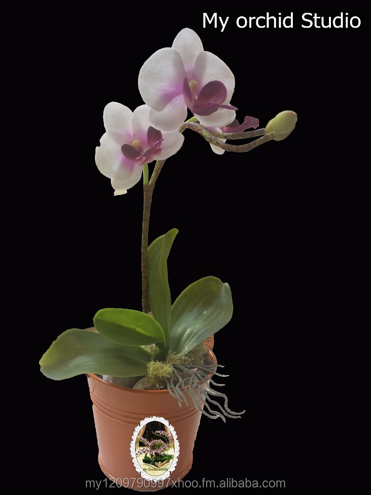 Gift Orchid in Bucket