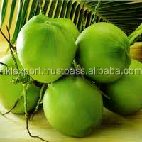 TENDER COCONUT/ YOUNG COCONUT/ GOOD QUALITY EXPORTER