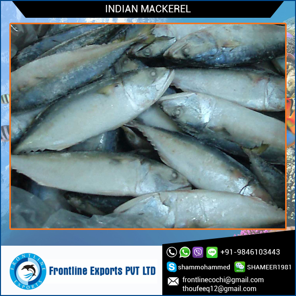 Fresh Frozen Mackerel for Sale from India
