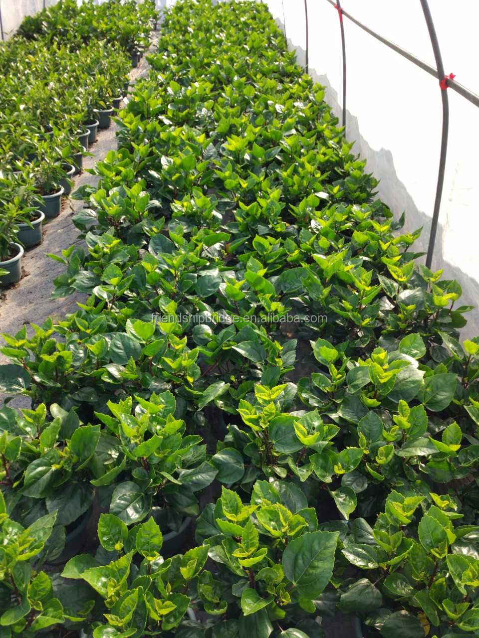 Wholesale Potted Rosa Sinensis Linn Houseplant Chinese Hibiscus ...