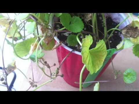 Konjac root weight loss stories