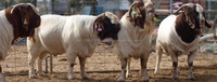 Best Live Boer Goats, Sheep and Cows