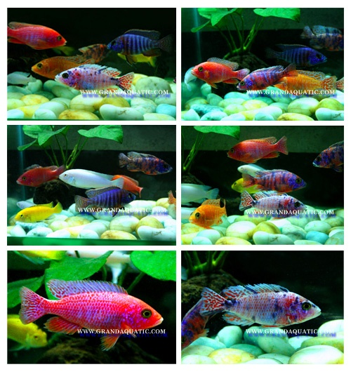 Malawi Cichlid Fish Farm For Sale And Export