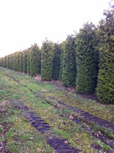 Thuja brabant occidentalis.
