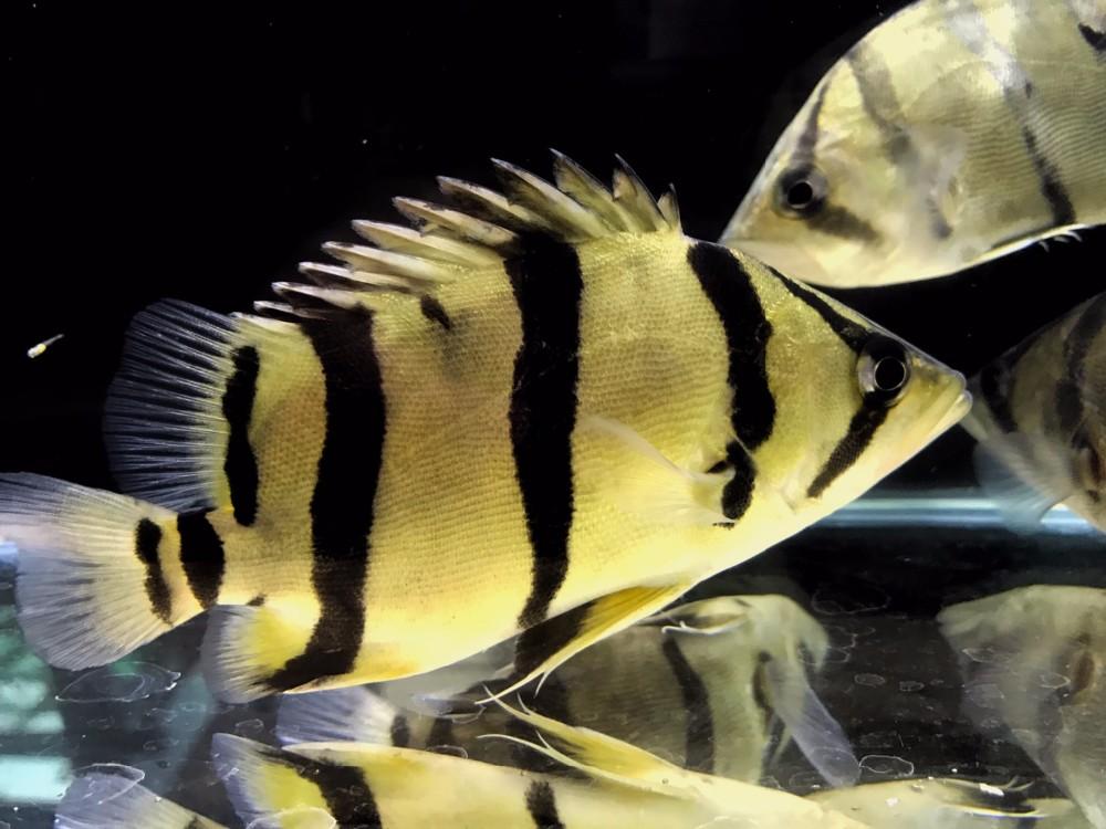 Tiger fish rare aquarium fish from thailand exporter buy for Tiger fish pictures