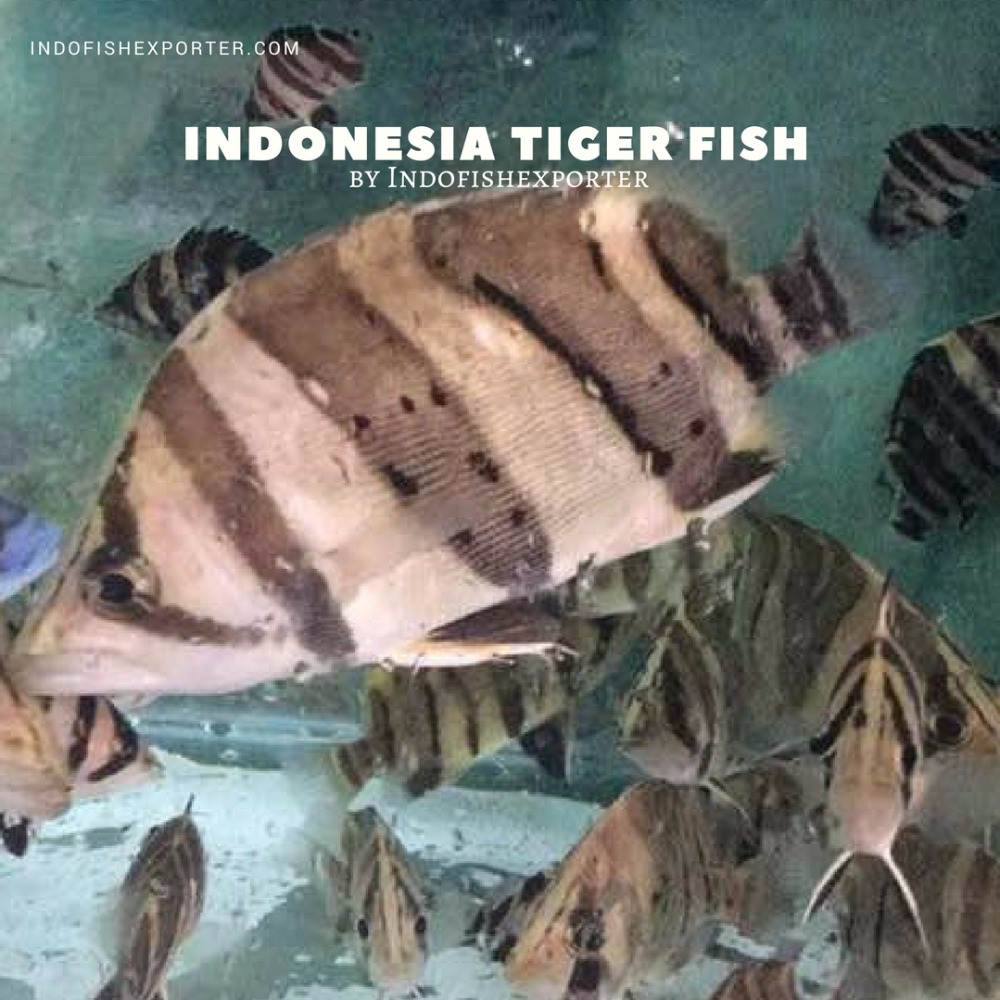 Indonesia Tiger Fish (Best Seller!) by Indofishexporter.com