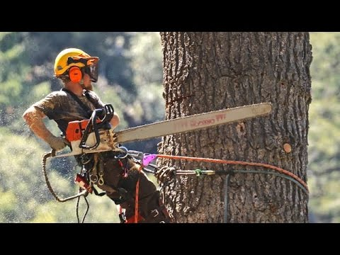 STIHL chainsaws and crane used to take down huge White Fir tree in Forest Falls CA