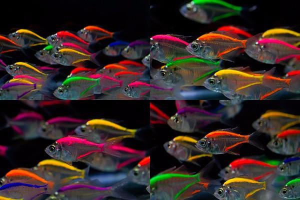 Glass Fish Mix Color For Sale To Aquarium Fish Importer - Buy Ornamental Fish Thailand,Glass ...