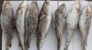 Frozen cod fish buy frozen cod fish product on for Is cod fish kosher