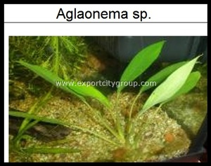 Live Aquatic Plants - AGLAONEMA SP