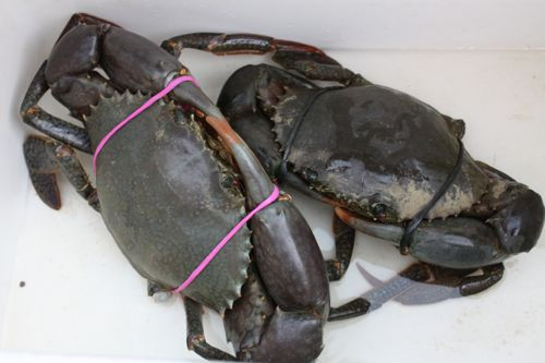 Image result for Live Mud Crab