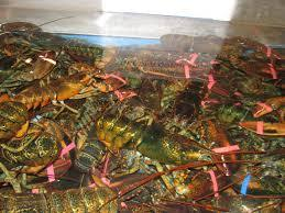 Lobsters For Sale - Buy Live Spiny Lobster For Sale,Frozen Lobster ... Lobster For Sale