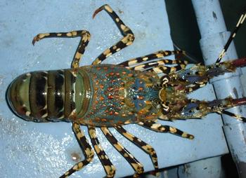 Frozen Lobster / Frozen Lobster Tail / Fresh Live Lobster - Buy Frozen Lobster Tails For Sale ...