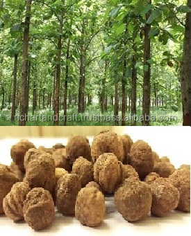 Indian Treated Teak forestry tree Seeds ( Tectona grandis )Swagon Rajasthan Asia