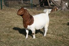 100% Full Blood Boer Goats Live Sheep Cattle Lambs and Cows lamb and goat meat