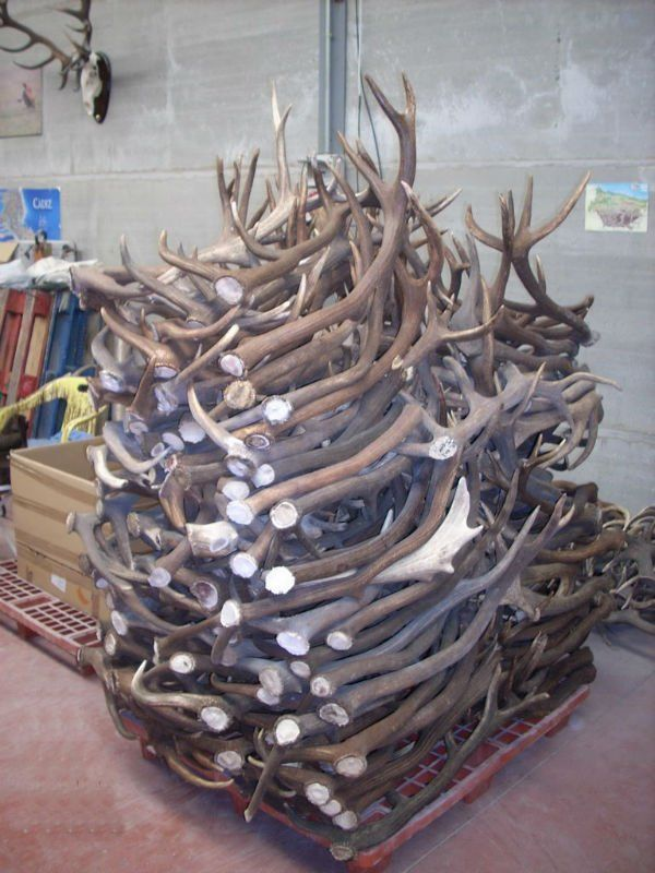 red deer horns