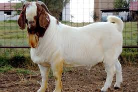 100% Full Blood Boer Goats Live Sheep Cattle Lambs and Cows