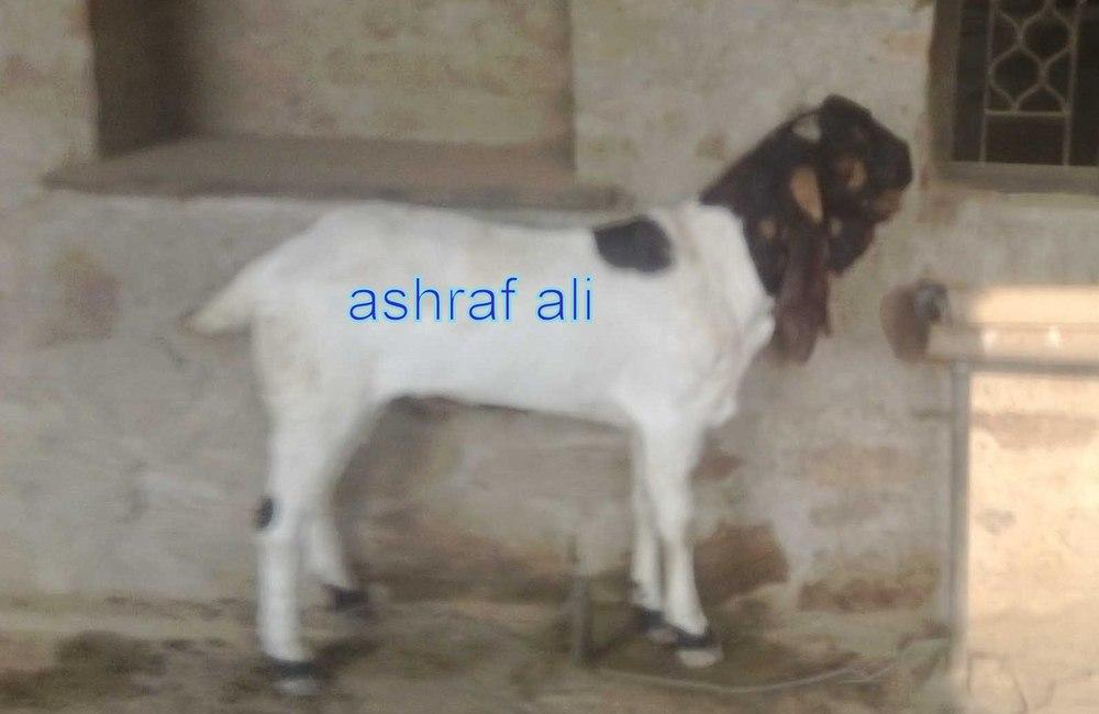 Indian Goats For Sale - Buy Jamnapari Goat Product on Alibaba com