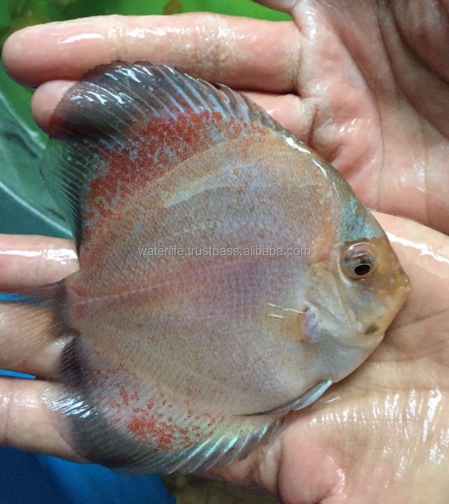 High Quality Discus Fish Breeder,Freshwater Fish,Wholesaler Live ...