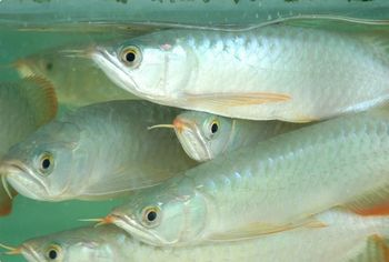 Chili red asian red super red arowana fish and many other for Red arowana fish for sale in usa