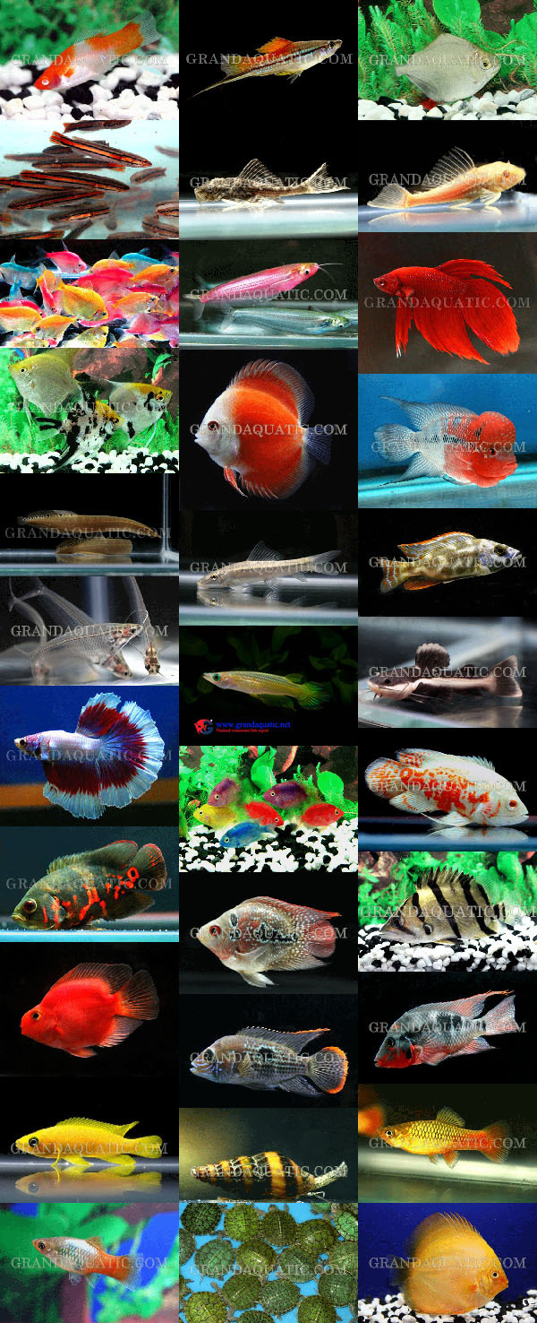 Freshwater aquarium fish exporters - Aquarium Fish Farm And Export From Thailand