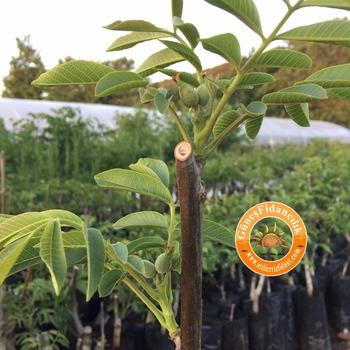 Walnut Saplings Seedlings Grafted Chandler Fernor