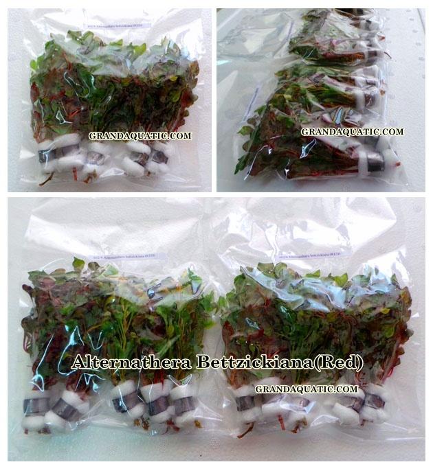 Alternathera Bettzickiana Red Aquatic Plants Farm For Sale ...